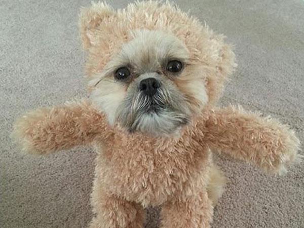 disfraz-osito-teddy-para-perro